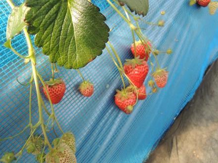Strowberry20180310.JPG